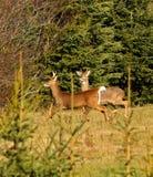 Dois cervos de Whitetail masculinos com chifres Fotos de Stock