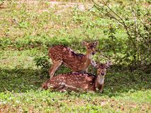Dois cervos em Sri Lanka imagem de stock royalty free