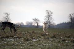 Dois cervos em um parque em Dinamarca Imagens de Stock Royalty Free