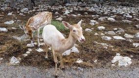 Dois cervos junto Fotos de Stock
