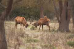 Dois cervos masculinos Fotos de Stock Royalty Free