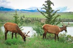 Dois cervos na grama Foto de Stock