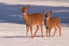 Dois cervos na neve Imagens de Stock