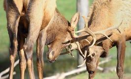 Dois cervos que lutam na natureza durante a rotina fotos de stock