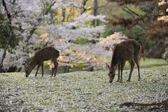 Dois cervos que pastam entre as flores de cereja caídas Fotografia de Stock
