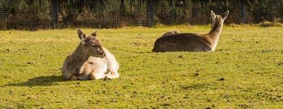 Dois cervos sentados para baixo Imagem de Stock Royalty Free