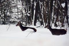 Dois cervos vermelhos fêmeas na sobrevivência dura da neve imagens de stock royalty free