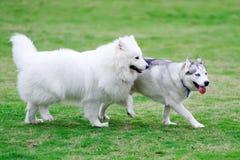 Dois cães Fotos de Stock Royalty Free