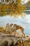 Dois cães caçadores de lobos do russo Fotografia de Stock