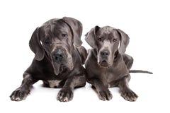 Dois cães cinzentos do grande dinamarquês Imagens de Stock