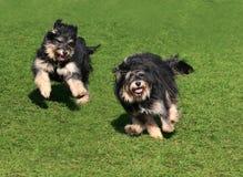 Dois cães felizes Fotos de Stock Royalty Free
