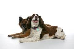 Dois cães misturados da raça em um fundo chave elevado Imagens de Stock