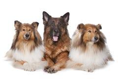 Dois cães ásperos do Collie e um pastor alemão Imagem de Stock Royalty Free