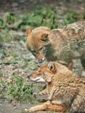 Dois chacais est?o descansando na terra rochoso Canis dourado do chacal ?ureo foto de stock royalty free