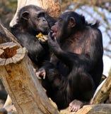 Dois chimpanzés Imagem de Stock Royalty Free