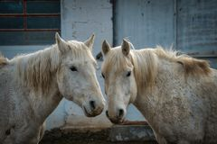 Dois cinzentos ou cavalos brancos em um pátio fotografia de stock royalty free