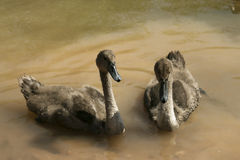 Dois cisnes novos Foto de Stock