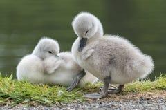 Dois cisnes novos imagens de stock royalty free