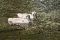Dois cisnes novos que nadam perto Fotografia de Stock Royalty Free