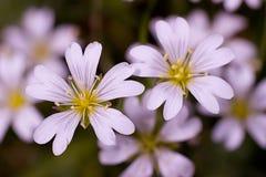Dois claros - flor cor-de-rosa Imagem de Stock Royalty Free