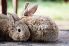 Dois coelho macio, foto do close-up pet o coelho, profundidade de campo rasa, foco macio conceito engraçado dos animais imagens de stock