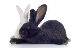 Dois coelhos Imagem de Stock Royalty Free