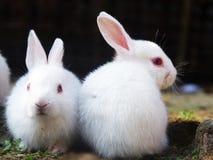 Dois coelhos assentados na terra Imagens de Stock Royalty Free