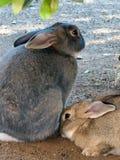 Dois coelhos bonitos Fotografia de Stock Royalty Free