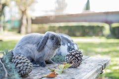 Dois coelhos bonitos pet o passeio em uma tabela de madeira com outdoo dos pinhos imagens de stock