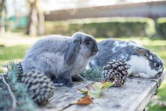 Dois coelhos bonitos pet o passeio em uma tabela de madeira com outdoo dos pinhos fotografia de stock