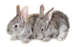 Dois coelhos cinzentos pequenos Imagem de Stock Royalty Free