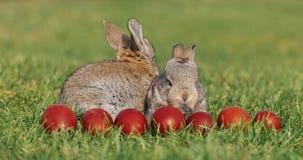 Dois coelhos cinzentos pequenos engraçados sentam-se na grama verde entre ovos da páscoa vermelhos vídeos de arquivo