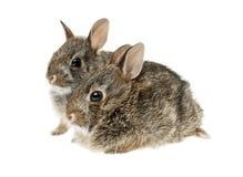 Dois coelhos de coelho do bebê Fotografia de Stock