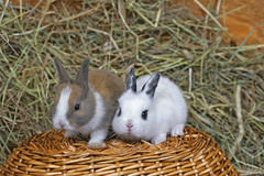 Dois coelhos do bebê na cesta Fotografia de Stock