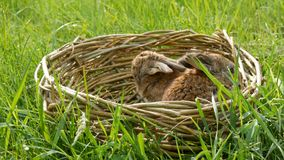 Dois coelhos macios bonitos semanais pequenos recém-nascidos em uma cesta de vime na grama verde no verão ou na mola video estoque