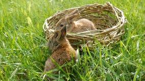 Dois coelhos macios bonitos semanais pequenos rec?m-nascidos em uma cesta de vime na grama verde no ver?o ou na mola video estoque