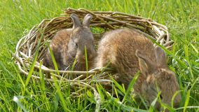 Dois coelhos macios bonitos semanais pequenos rec?m-nascidos em uma cesta de vime na grama verde no ver?o ou na mola filme