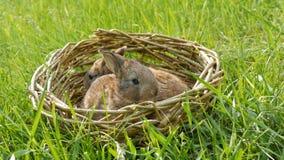 Dois coelhos macios bonitos semanais pequenos rec?m-nascidos em uma cesta de vime na grama verde no ver?o ou na mola vídeos de arquivo