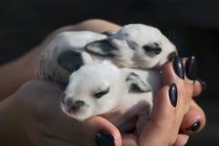 Dois coelhos recém-nascidos nas mãos das meninas imagem de stock royalty free