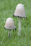 Dois cogumelos Imagem de Stock Royalty Free