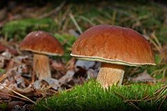 Dois cogumelos imagens de stock
