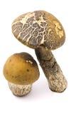 Dois cogumelos Fotos de Stock Royalty Free