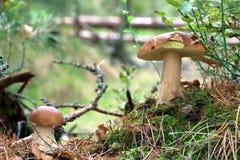 Dois cogumelos bonitos dos cepa-de-bordéus Imagem de Stock Royalty Free