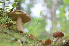 Dois cogumelos bonitos dos cepa-de-bordéus crescem Fotos de Stock Royalty Free
