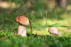 Dois cogumelos brancos pequenos no musgo Imagens de Stock Royalty Free