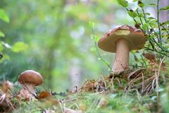 Dois cogumelos dos cepa-de-bordéus crescem na madeira Imagem de Stock