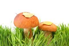 Dois cogumelos em uma grama Fotografia de Stock