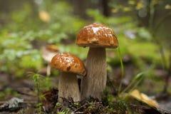 Dois cogumelos na floresta imagem de stock royalty free