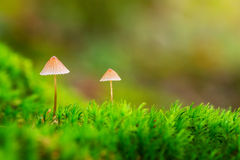 Dois cogumelos pequenos no musgo verde foto de stock royalty free