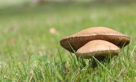 Dois cogumelos selvagens Imagem de Stock